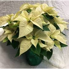 white poinsettia white poinsettia in 7 pot wrap n go florist