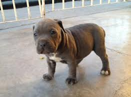 american pit bull terrier history american pit bull terrier pictures diet breeding life cycle