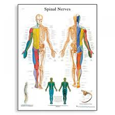 Spine Map Gallery Spinal And Nerve Human Map Human Anatomy Diagram