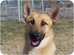 australian shepherd tan cooper adopted dog patterson ca australian shepherd belgian