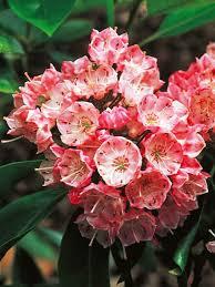 All Year Flowering Shrubs - evergreen shrubs for year long color types of shrubs evergreen