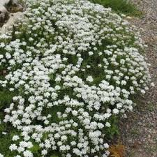 41 best candytuft images on pinterest evergreen perennials and