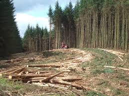 file timber harvesting in kielder forest jpg wikimedia commons