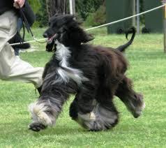 afghan hound breeders victoria lionslea news page