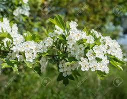 hawthorn or crataegus shrub with white blossoms in the early