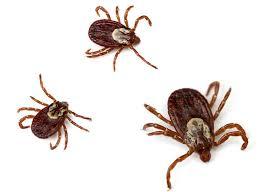 Ticks In Backyard Get To Know Your Backyard Ticks