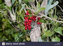 evergreen climbing shrub stock photos u0026 evergreen climbing shrub