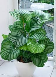 Low Light Indoor Trees Patterned Leaves Make This Plant A Great Decoration For Any Room