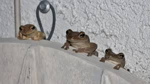 florida tree frogs humbled pie