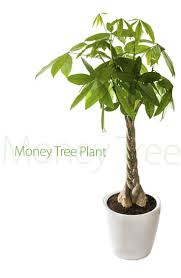 92 best chinese money plant images on pinterest chinese money