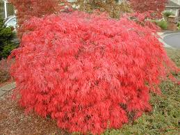 acer palmatum dissectum cascade maples for all seasons online