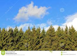 background of spruce tree tops and blue sky with white clouds