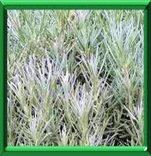 immortelle d italie cuisine helichryse italienne ou helichrysum italicum serotinum fiche