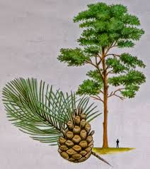 scots pine treecouncil of ireland