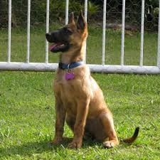 belgian shepherd rescue qld jessie medium female staffy x belgian shepherd in qld petrescue