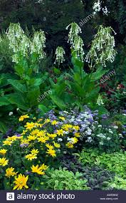 annual flower display with the ornamental tobacco or nicotiana