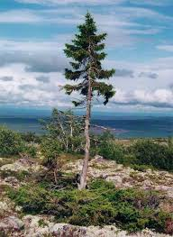 6 of the oldest trees in the world mental floss