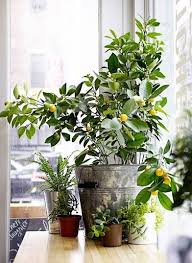 7 types of fruit trees you can grow in your living room fruit