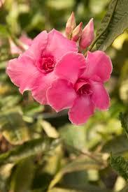 pink parfait mandevilla monrovia pink parfait mandevilla