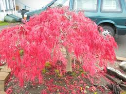 japanese maple trees japanese maple trees look great in