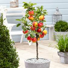 Patio Fruit Trees Uk by Apple Elstar