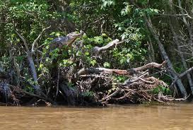beware in the bayou alligators and crocodiles can climb