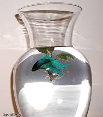 Betta Fish Vase With Bamboo The Underrated Betta Fish U2013 Raoul Pop