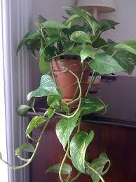 most common indoor vine plants