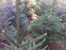Natural Christmas Tree For Sale - berry hall woodlands real christmas trees