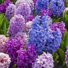 hyacinth bulbs dutch flower bulbs at wholesale prices