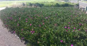 australian native ground cover plants beach vista drive playground and lookout curlewis bellarine