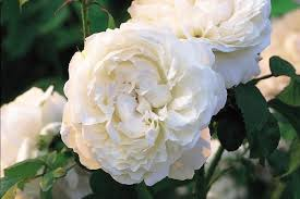 White Roses For Sale Winchester Cathedral Roses For Sale Order Online Ashridge Nurseries