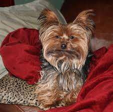 male yorkie haircuts miniature yorkshire terrier time for a yorkie haircut