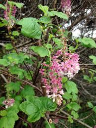 san diego county native plants 伊藤比呂美 on twitter