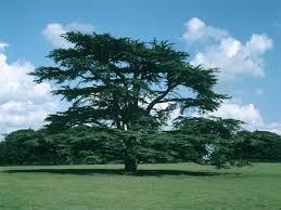 cedar cedrus libani trees woodland trust