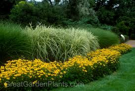 ornamental grasses as a hedge www greatgardenplants o flickr