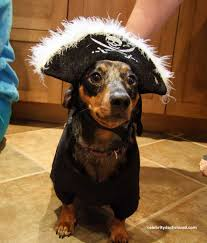 Halloween Costumes Miniature Dachshunds Wiener Dog Pirate Costume Dachshunds Ha Doxie Love