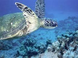 imagenes tortugas verdes tortugas marinas verdes tortugamarinapedia