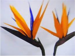 bird of paradise flower how to make paper flowers bird of paradise strelitzia flower