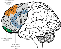 brain anatomy coloring book executive functioning where is it controlled and how does it