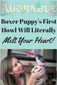 boxer dog howling 122 best barmy pets images on pinterest funny animals animals