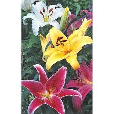 stargazer lilly stargazer lilies mixed k bourgondiens