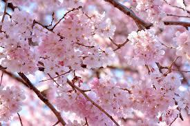 Cherry Blossom Tree Facts by 5 Essential Spots To View Sakura Hoshino Resorts Magazine