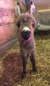 25 baby donkey ideas mini donkey donkeys