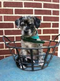 australian shepherd lab mix for sale australian shepherd lab mix characteristics appearance and pictures