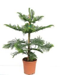 living christmas tree norfolk island pine range of sizes