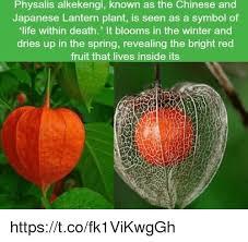 japanese lantern plant physalis alkekengi known as the and japanese lantern plant