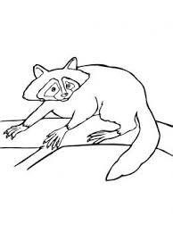 20 besten racoons bilder auf pinterest tiere und