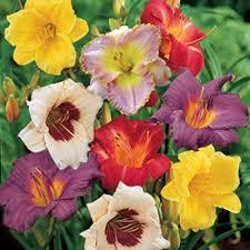 reblooming daylilies reblooming daylily mixture k bourgondiens