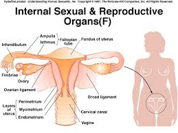 Female Sexual Anatomy Pictures Reproductive Anatomy And Physiology Infertility U0026 Ivf Vancouver